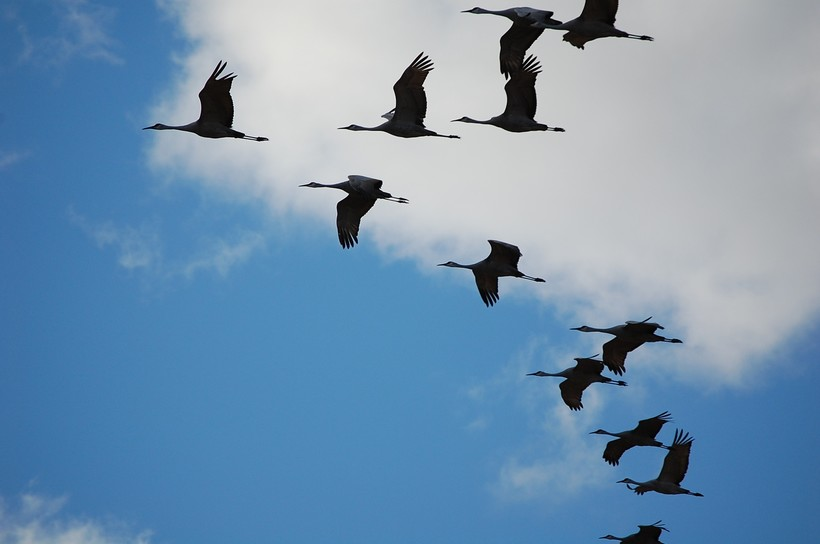 flock of cranes in sky