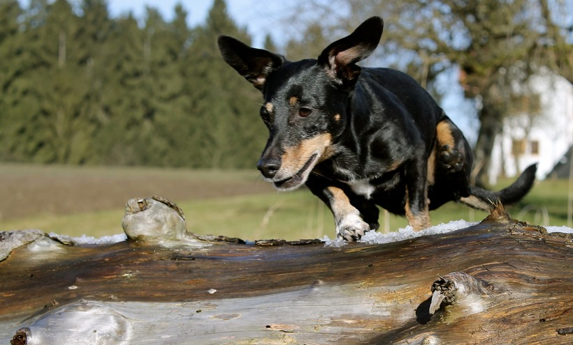 dachshund jumping over log