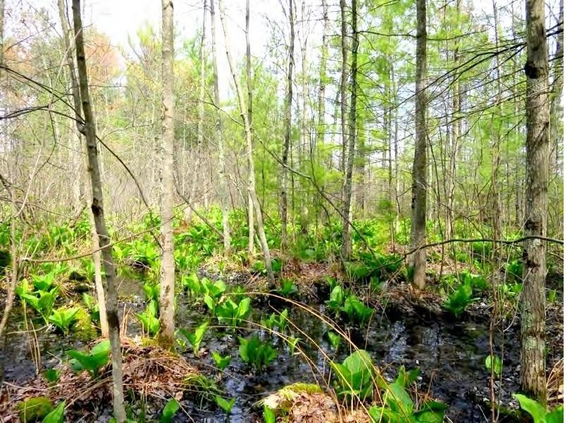 Meteor Timber plans to fill 16 acres of high quality wetlands, including 13 acres of rare, white pine-red maple swamp