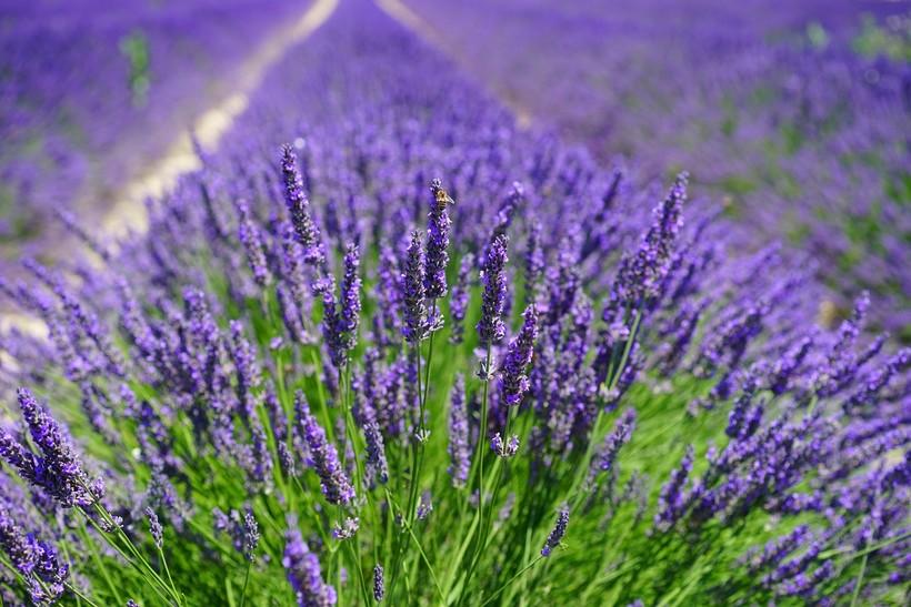 lavendar field