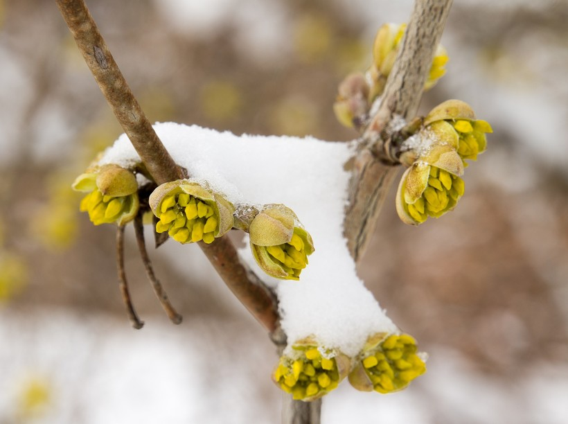 spring buds in snow