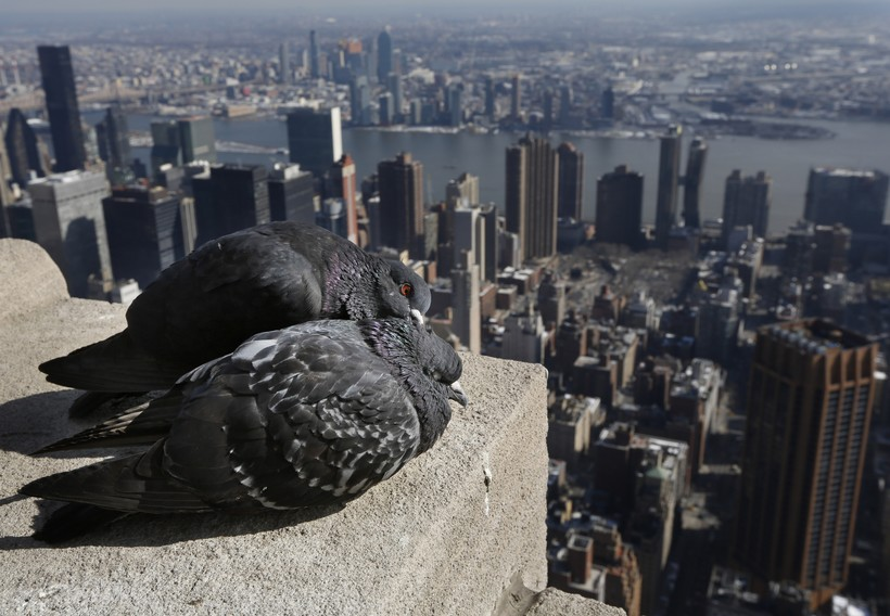 Pigeons groom one another on the observation deck of the Empire State Building in New York