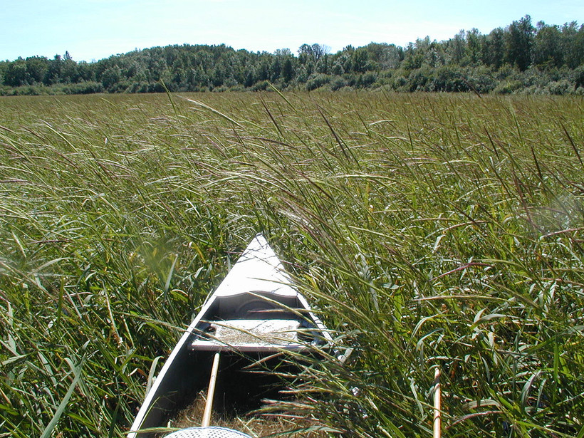 Canoe Among Wild Rice
