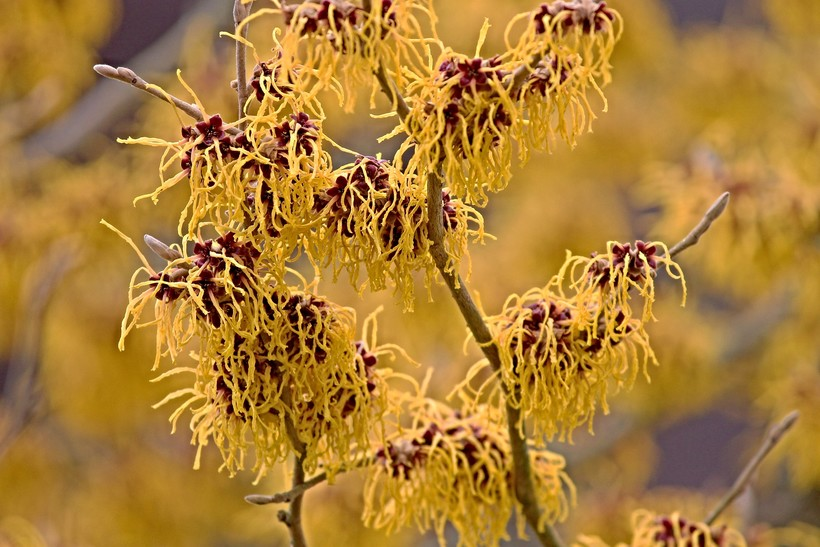 witch hazel bush in bloom