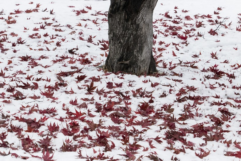 Fall leaves partially covered in snow.
