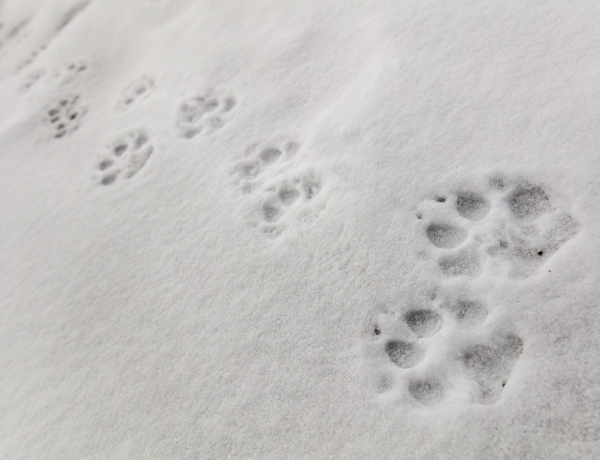 Wolf tracks in the snow on Fountain Freight road in Yellowstone National Park