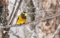 Evening grosbeak, birds, winter