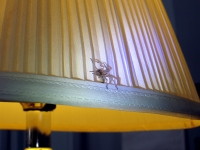 Yellow sac spider crawls on lamp