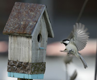 A Black-capped Chickadee brings home food