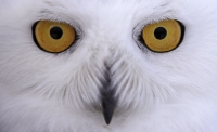 A photo a snowy owl