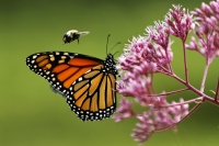 A monarch butterfly is buzzed by a bumblebee as it sips nectar on a Joe Pye weed