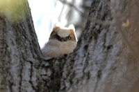 A baby horned owl is seen perched on a tree, Wednesday, April 22, 2020