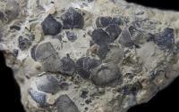 Striatochonetes, brachiopods