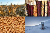 Clockwise: Wheat in a field, flint corn, kamut grains, and the Svalbard Global Seed Vault.