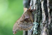 polyphemus moth on a tree
