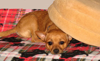 A dog hides underneath a pillow