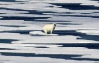 polar bear on ice in the Arctic