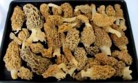 Morel Mushrooms found inRichland County, Wisconsin