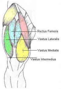 Quad muscle