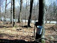 Sap collection buckets hanging from maple trees in Wisconsin