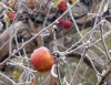 An unpicked apple hangs on a tree covered with frost